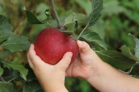 Apple Picking websize