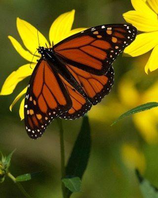 Cape_May_Monarch_20111001_56