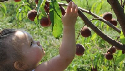 Child picking peaches at Great Country Farms
