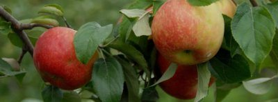 honey crisp apples hang on the pick your own apple trees at Great Country farms