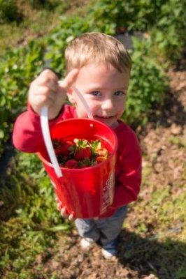 A young boy proudly shows off his red Great Country Farm Pick Your Own Strawberries bucket filled to the brim with freshly picked strawberries.