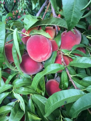Lovely pick your own peaches ripe and ready at Great Country Farms