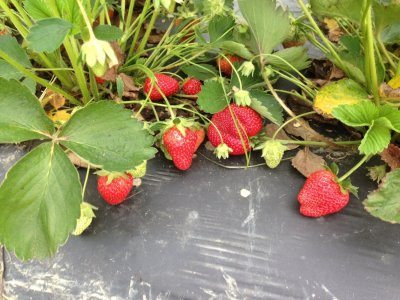 Ripe strawberries on plasticulture mulch ready for you-pick.