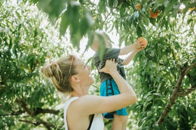 a mother lifts her child to pick a ripe peach in the orchard at Great Country Farms.