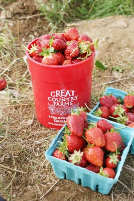 Pick your own strawberries displayed on the straw lined rows in a bright red Great Country Farms bucket and green quart till.