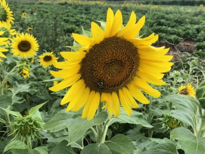 a honey bee works diligently to pollinate in the pick your own sunflower field at Great Country Farms