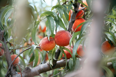 Ripe peaches on the trees in the orchards at Great Country farms.