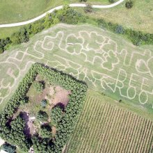 Arial Drone photo of the 2021 regenerative agriculture Corn Maze at Great Country Farms with the pathways spelling out deep roots and showing a tree and GCF pumpkin