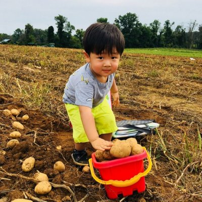 a young boy adds freshly dug potatoes to his red bucket at the Big Dig Potato Harvest at Great County Farms