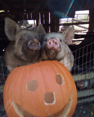 Two happy pigs pose with a carved jack o lantern pumpkin at Great Country Farms' pumpkin picking Fall Harvest Festival.