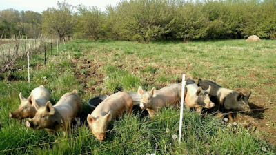 Happy pigs graze in the orchards at Great Country Farms as part of the regenerative agriculture program